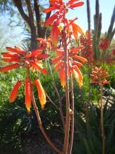 Sunset Aloe (Close Up)