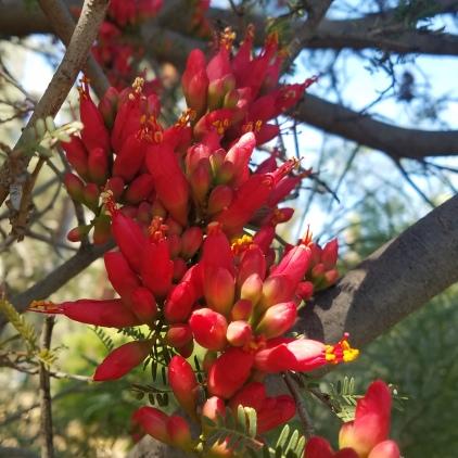 Karoo Boer Bean 2