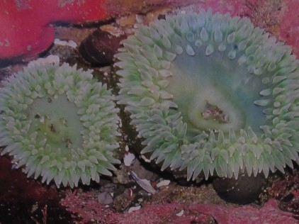 Giant Green Sea Anemones