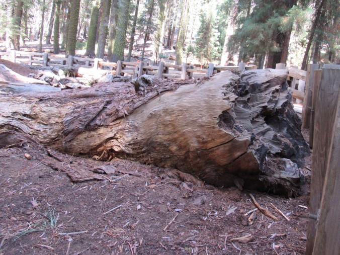 General Sherman - Broke tree branch