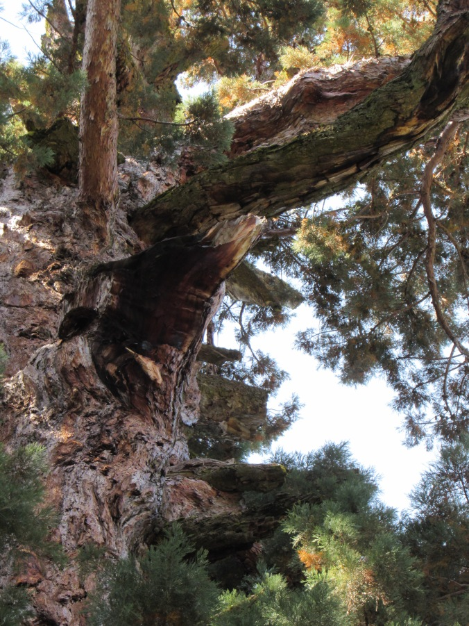 General Sherman - we think this is the branch that broke off